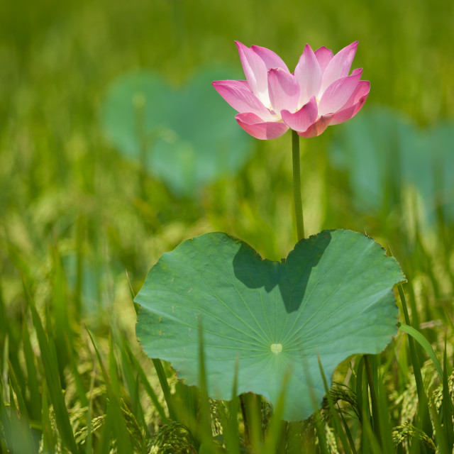 """beautiful lotus flower ( Hoa sen) blooming in rice - field"" stock image"