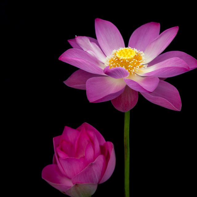 """beautiful lotus flower ( Hoa sen) blooming - black background"" stock image"