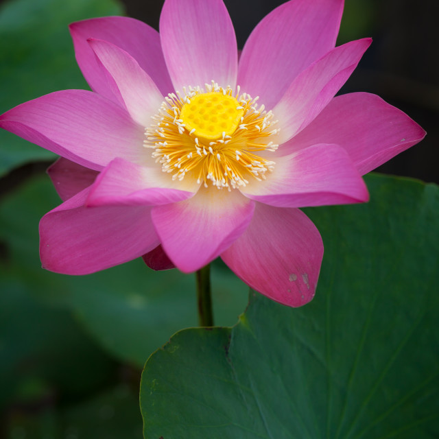 """beautiful lotus flower ( Hoa sen) blooming in pond"" stock image"