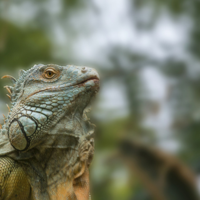 """Iguana in a tree"" stock image"