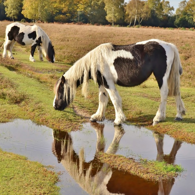 """""""New Forest Ponies."""" stock image"""