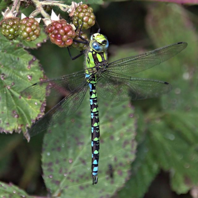 """Southern Hawker Dragonfly"" stock image"