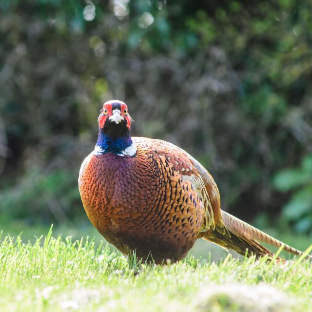 """Cock Pheasant"" stock image"