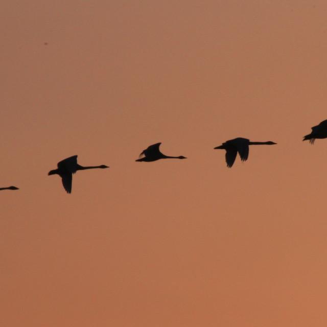 """Flight in sunset"" stock image"