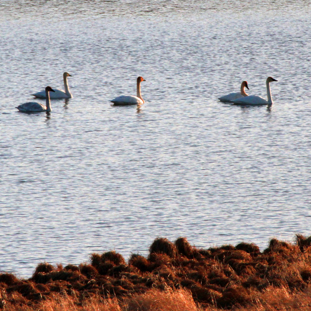 """""""Swans a swimming"""" stock image"""