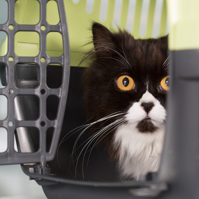 """Cat in the transporter"" stock image"
