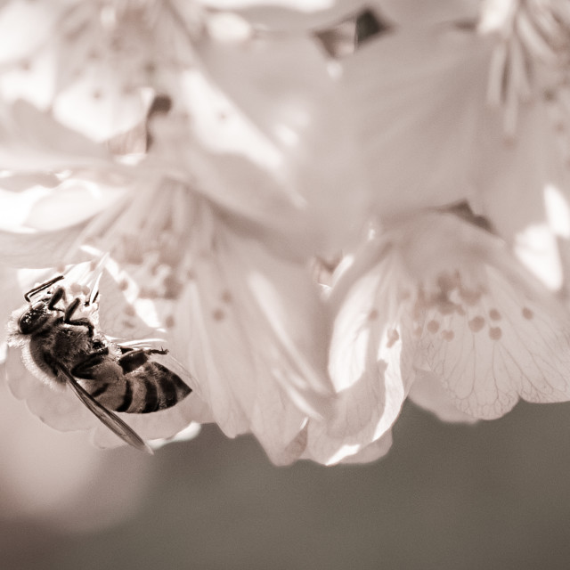 """Bee On Blossom"" stock image"