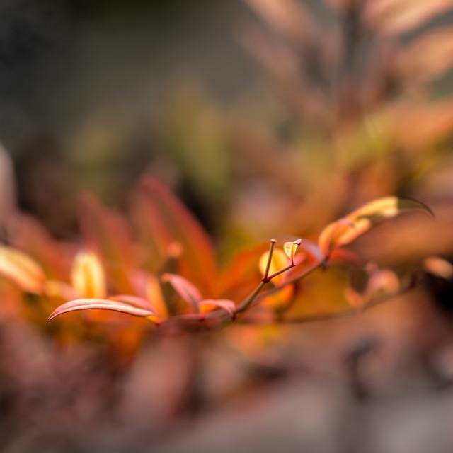 """Nandina Leaves"" stock image"