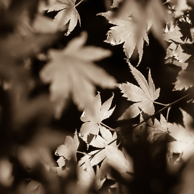 """Maple Leaves"" stock image"