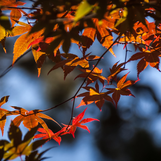 """Red Maple"" stock image"