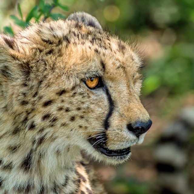 """Cheetah close up"" stock image"