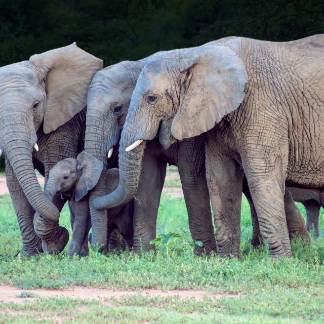"""Protective Elephants"" stock image"