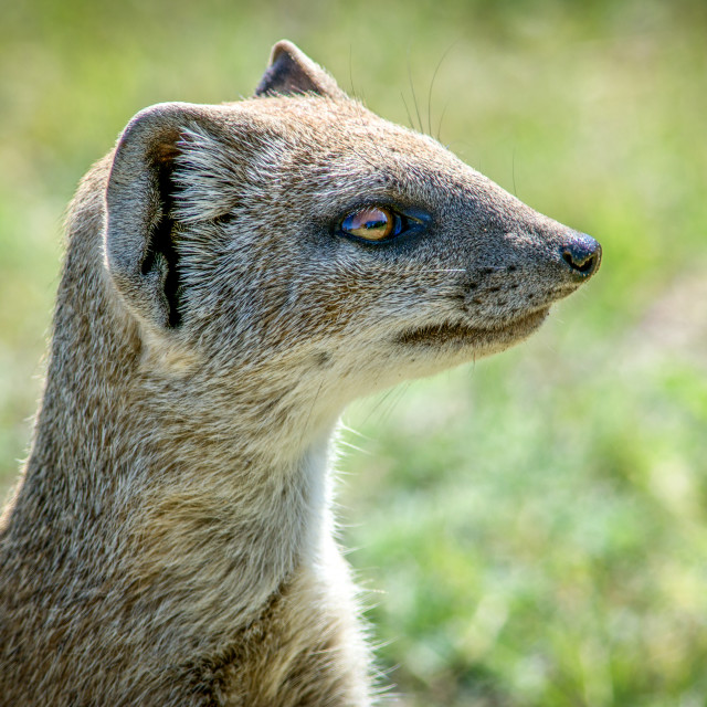 """There's a mongoose in my garden"" stock image"