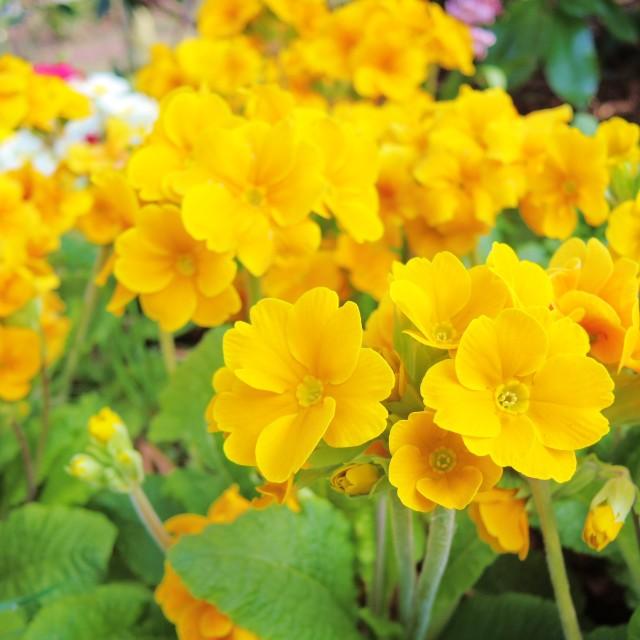 """""""Primula."""" stock image"""