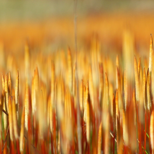 """close up of some type of grass"" stock image"