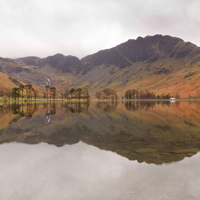 """Buttermere Pines"" stock image"