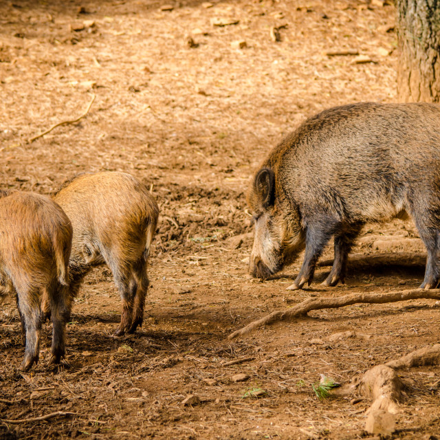 """Young boars eating in the forest with his mother."" stock image"