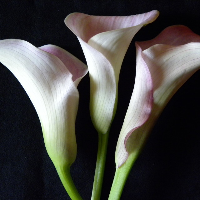 """Callas, Trio"" stock image"