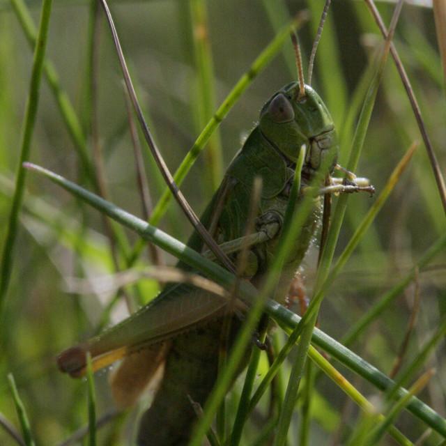 """The Lone Grasshopper"" stock image"
