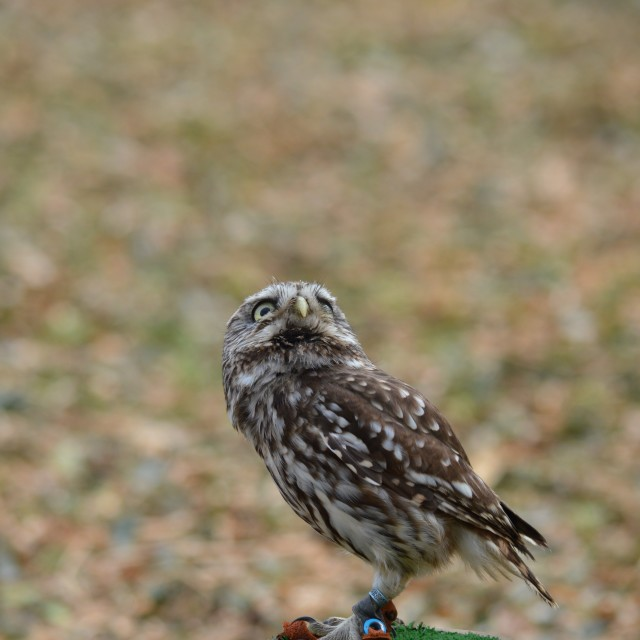 """""""Little owl looking up"""" stock image"""