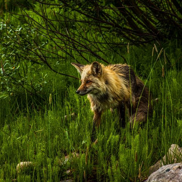 """A Wet Fox"" stock image"
