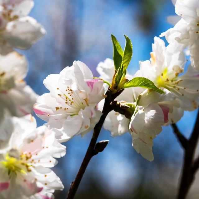 """Flowering peach trees"" stock image"