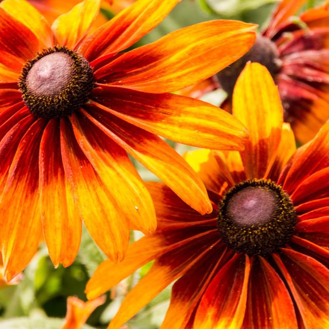 """Twin Orange Petals"" stock image"