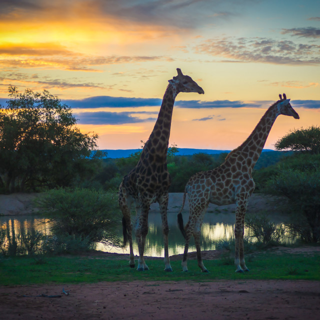 """Giraffes at sunset"" stock image"