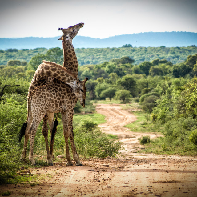 """Giraffe fighting"" stock image"