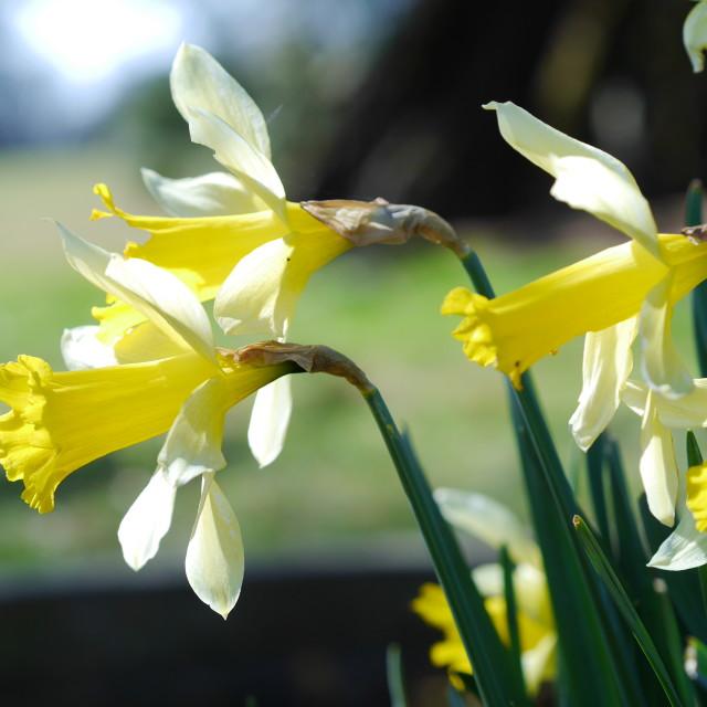 """Daffodils"" stock image"