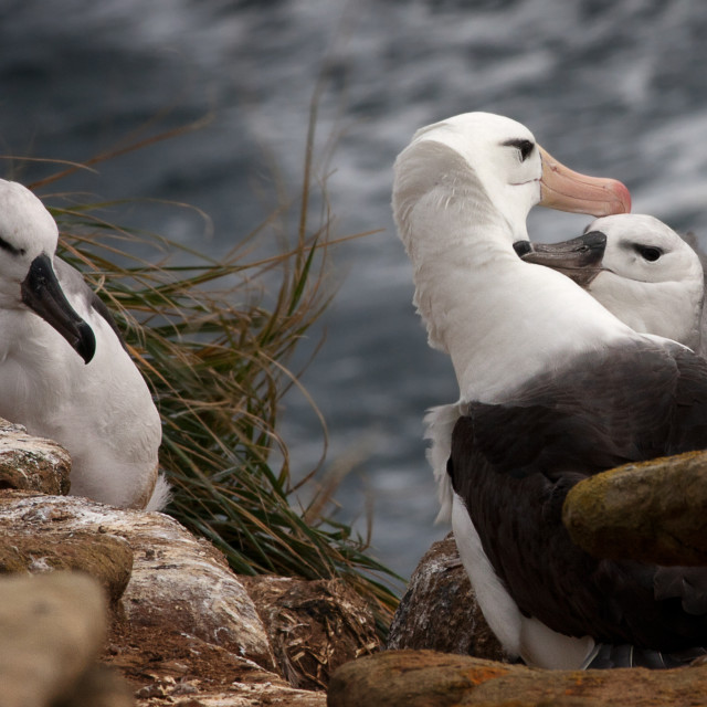 """Black-browed Albatross family"" stock image"
