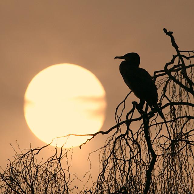 """Cormorant Waking"" stock image"