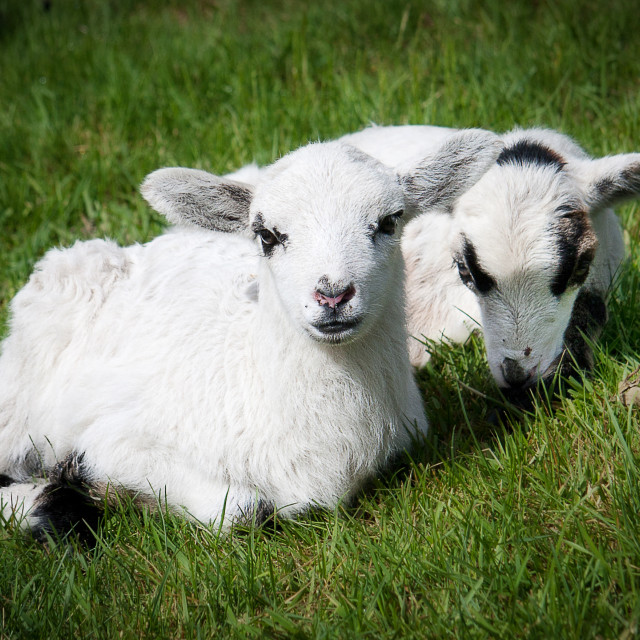 """Two lambs"" stock image"