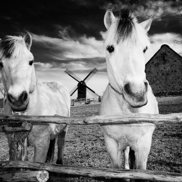 """Horses at Hjede Hede"" stock image"