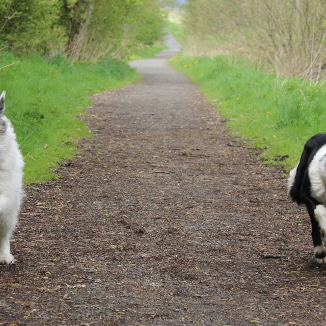 """Happy dogs running on path"" stock image"