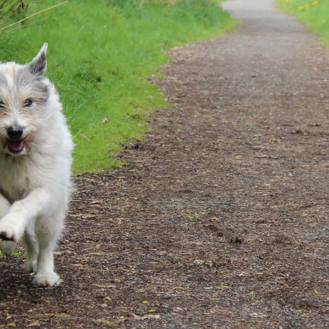 """Happy dog running on path"" stock image"