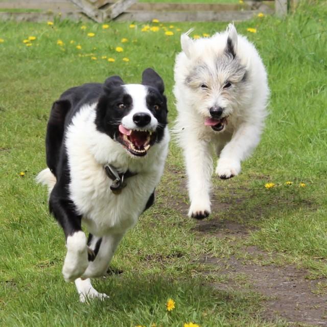 """Happy Dogs Running"" stock image"