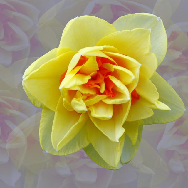 """Daffodil flower"" stock image"
