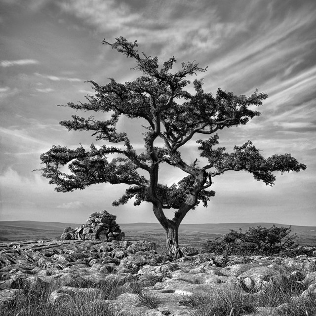 """Ingleton Tree 1"" stock image"