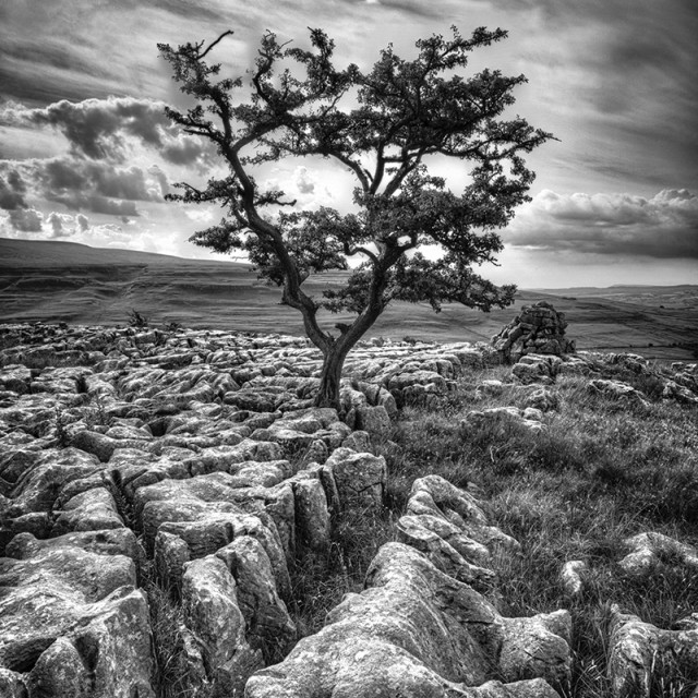 """Ingleton Tree 2"" stock image"