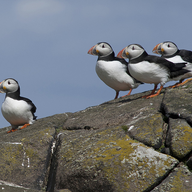 """ISLE OF MAY PUFFINS"" stock image"