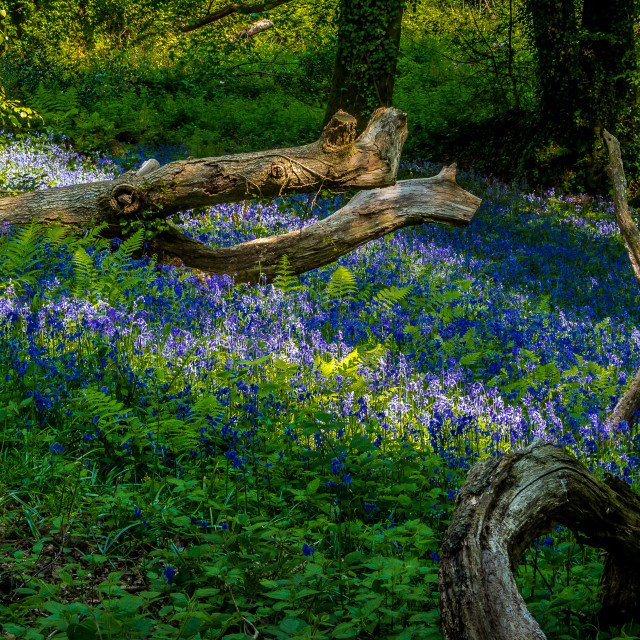 """Bluebell Crocodile"" stock image"