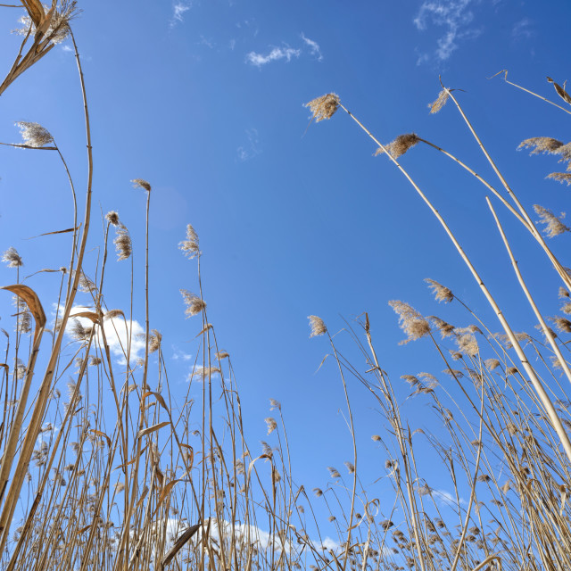 """Reeds Moved by the Wind"" stock image"