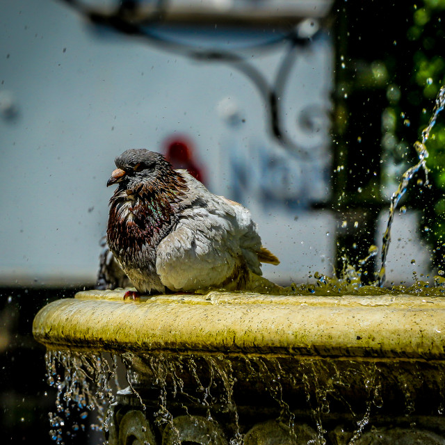 """Bathing Pidgeon"" stock image"