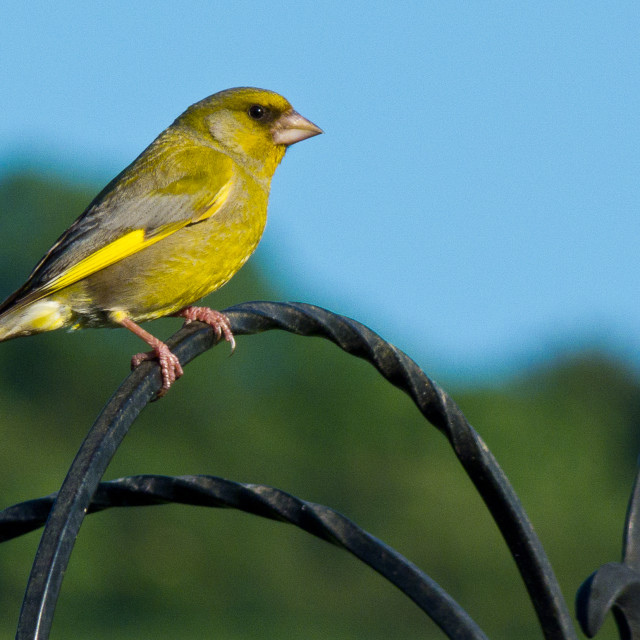 """""""Green Finch"""" stock image"""