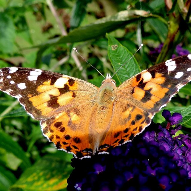 """Painted Lady (Cynthia cardui)"" stock image"