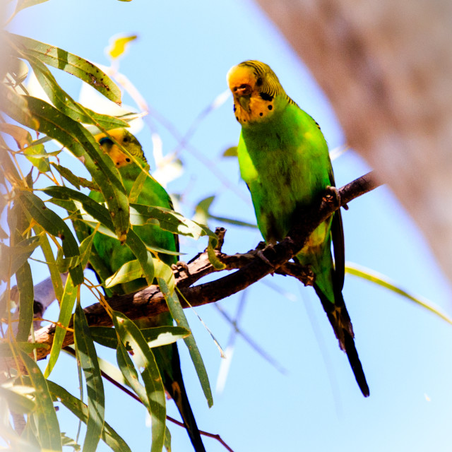 """Budgerigars on a gum tree"" stock image"