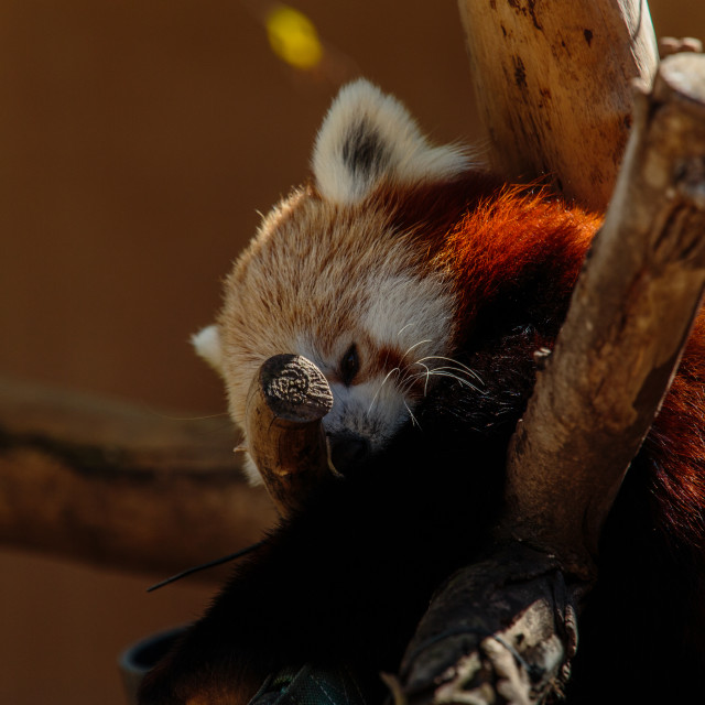 """Red panda on a tree (in a zoo)"" stock image"