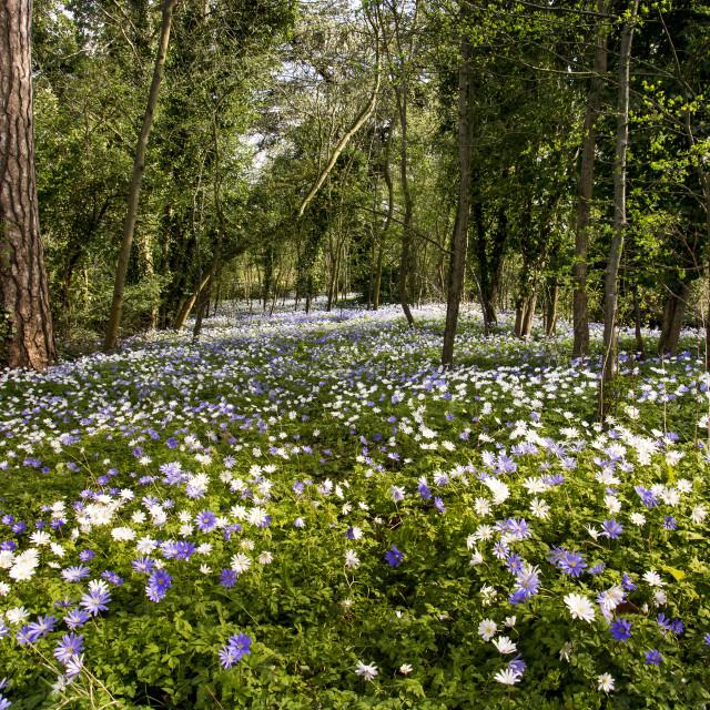 """""""Blue and White Woodland Carpet"""" stock image"""