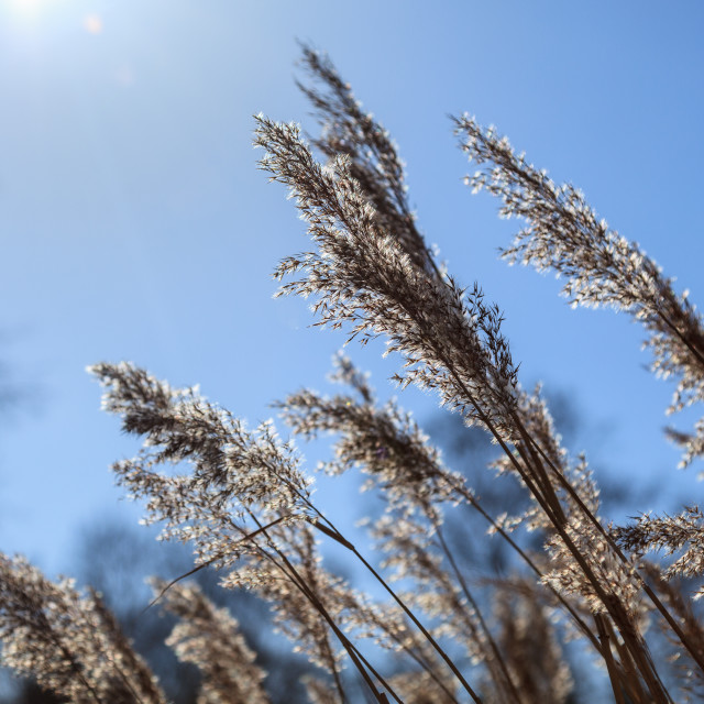 """""""Common Reed"""" stock image"""